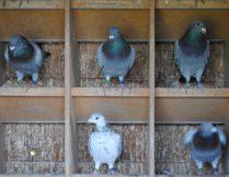Więcej o: Wspólny gołębnik
